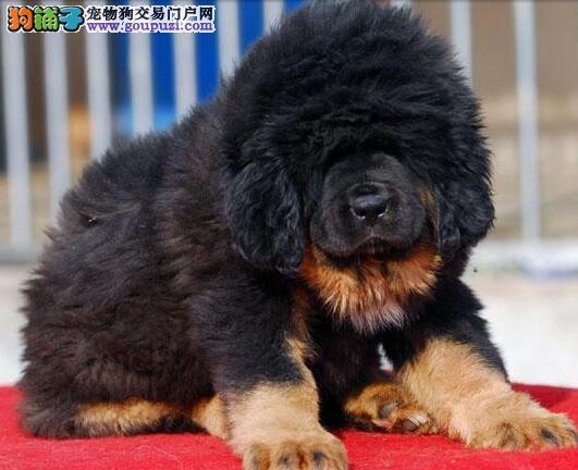 藏獒幼犬出售中,自家繁殖保健康,签订活体协议
