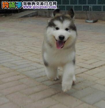 犬舍直销高品质淮坊阿拉斯加雪橇犬驱虫已做包养活