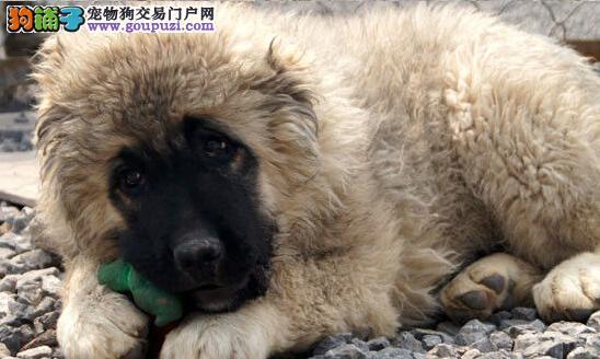 龙岩正规狗场犬舍直销高加索幼犬我们承诺售后三包