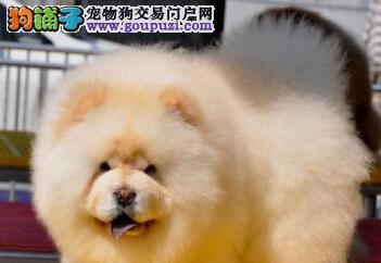 娄底出售大头肉嘴紫舌头松狮犬 多种颜色疫苗驱虫做完