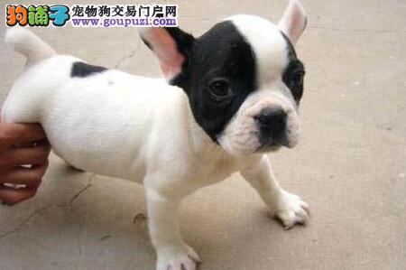 上海繁殖出售法国斗牛犬憨萌可爱高端宠物狗最好的选择