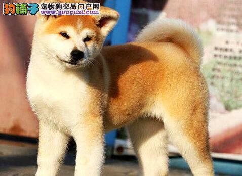 色泽亮丽活泼可爱的南京秋田犬找新主人 求好心人收留2