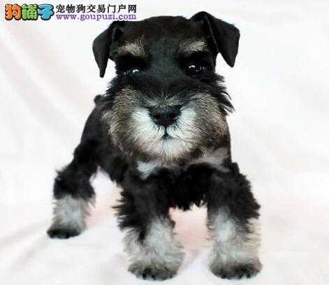 天津实体店低价促销赛级雪纳瑞幼犬期待来电咨询