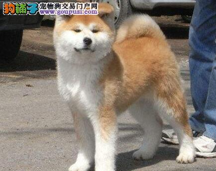 色泽亮丽活泼可爱的南京秋田犬找新主人 求好心人收留3