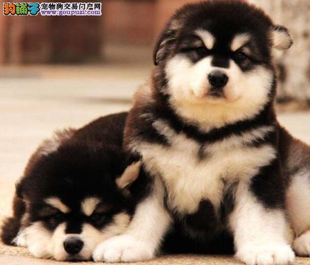 专业喂养精心繁殖 合肥信誉犬舍出售阿拉斯加雪橇犬