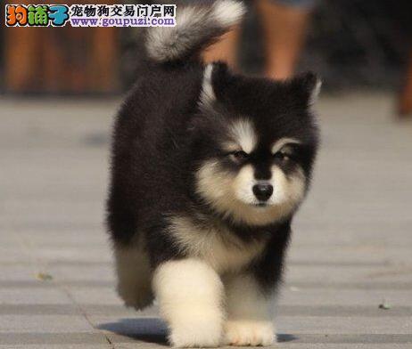 出售巨型纯种阿拉斯加幼犬