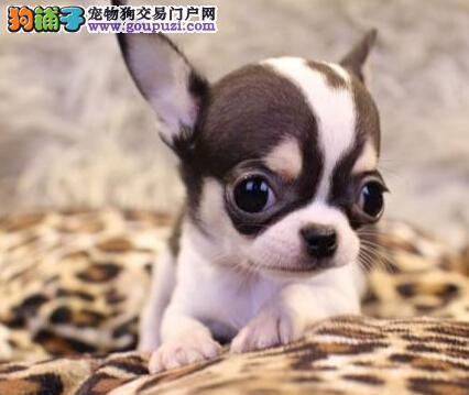 出售大眼睛苹果头的呼和浩特吉娃娃幼犬 请您放心选购