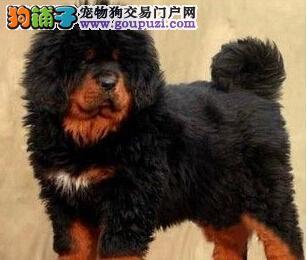 狗场出售精品福州藏獒欢迎上门选购支持货到付款