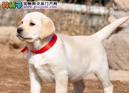 CKU犬舍认证出售纯种拉布拉多国外引进假一赔百
