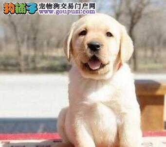昆明售纯种拉布拉多可爱无敌拉拉犬幼犬
