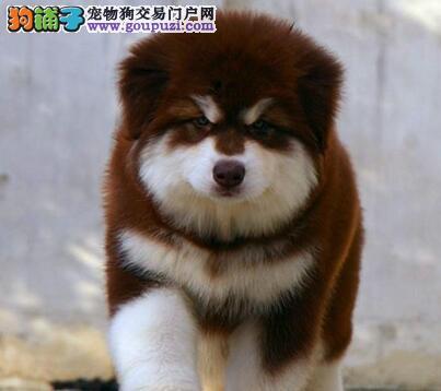 直销双十字强壮阿拉斯加雪橇犬 欢迎来深圳实地考察