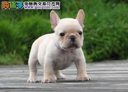 南京犬舍出售纯种斗牛犬花色好驱虫疫苗都已做3
