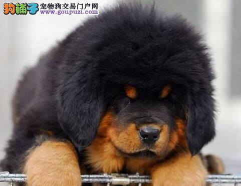 獒园出售精品狮王血系原生态深圳藏獒 已做好进口驱虫