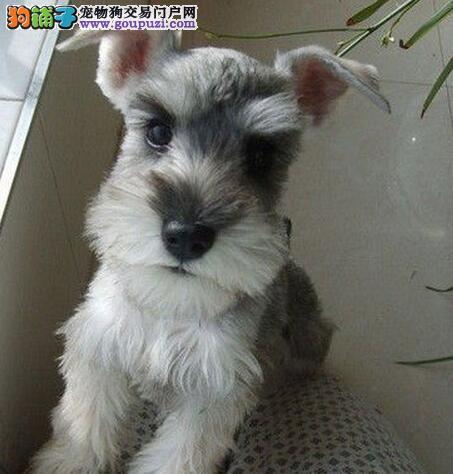 武汉售雪纳瑞犬 小雪 老头狗保纯保健康
