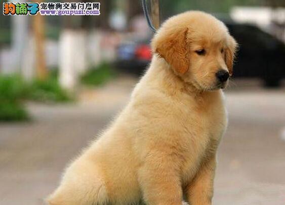 汕头狗场转让超高品质的金毛犬 健康保障放心选购