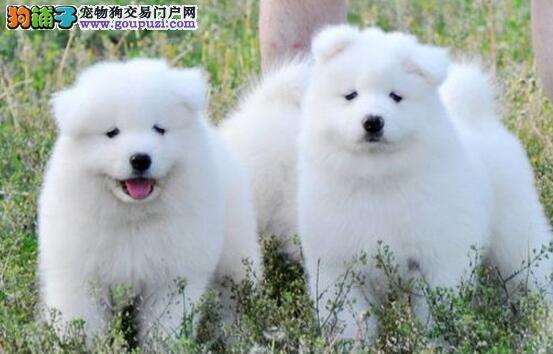 微笑天使般的南宁萨摩耶找新主人 爱狗人士优先选购