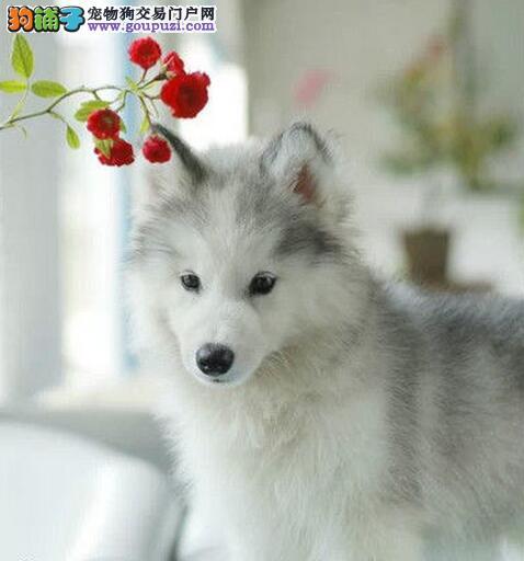 南宁正规犬舍直销双血统的哈士奇 多只幼犬供您选择