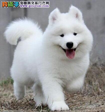 沈阳知名犬舍超低价出售萨摩耶幼犬 我们承诺售后三包