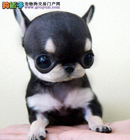 乖巧可爱的吉娃娃幼犬~保证健康和品质~