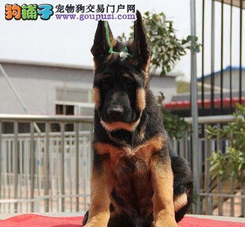 名犬之后 德国牧羊犬 有血统书 耳号 价格面议