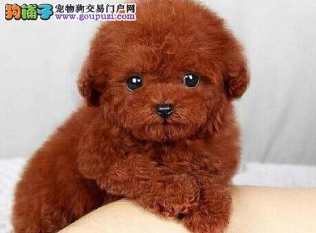 银川正规犬舍高品质泰迪犬带证书期待您的咨询3