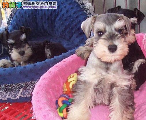 大型犬舍特价转让昆明雪纳瑞 市内可送狗上门