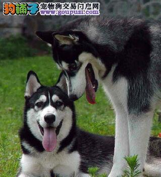 深圳出售西伯利亚雪橇犬高品质血统纯正签售后质保协议
