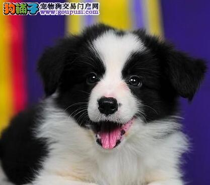 广州犬舍出售顶级边境牧羊犬 值得您拥有 非诚勿扰