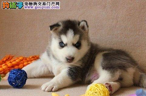 广州西伯利亚雪橇犬转让 极品哈士奇幼犬健康协议保障