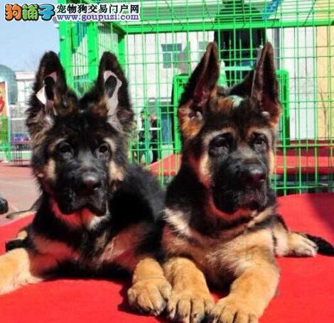 南开售德牧、德国牧羊犬幼犬驱虫疫苗已做完终身质保