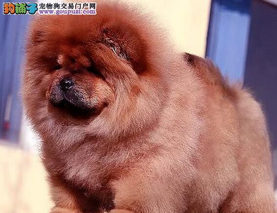 紫舌大嘴松狮犬青岛顶尖犬舍出售 可签署售后保障书