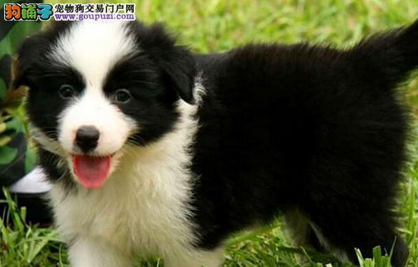 纯种七白到位乌鲁木齐边境牧羊犬直销 颜色多样品质高