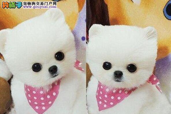 国际AKC犬舍出售昆明博美犬 可看父母 签质保协议