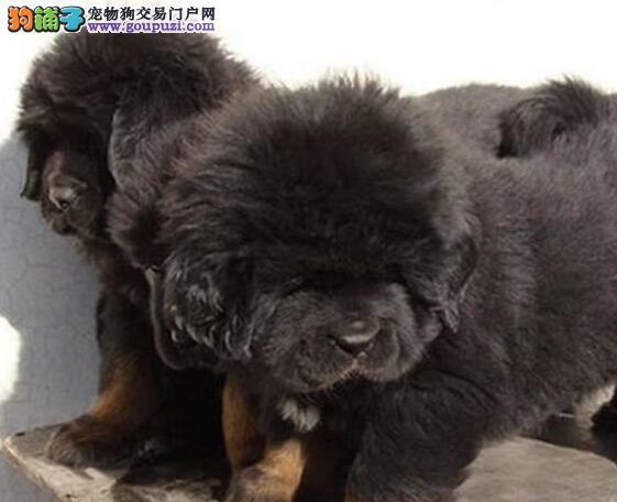 郑州正规养殖基地直销纯种藏獒 颜色多样公母全