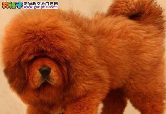 出售大狮头红藏獒的精品纯种幼獒 血统纯正基因稳定