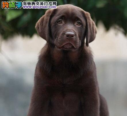 正规犬舍出售纯种拉布拉多导盲犬 签订协议