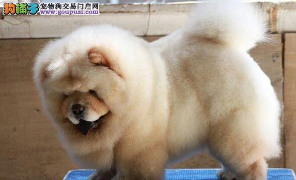 深圳肉嘴松狮 平嘴松狮幼犬出售 多色可选