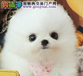 乌鲁木齐出售顶级博美犬微信视频多只可选终身质保协议