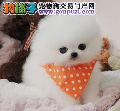 北京买纯种英系博美犬 健康保证品质保证签订协议