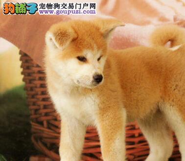 青岛顶级犬舍直销高品质日系秋田犬保证活泼纯种健康
