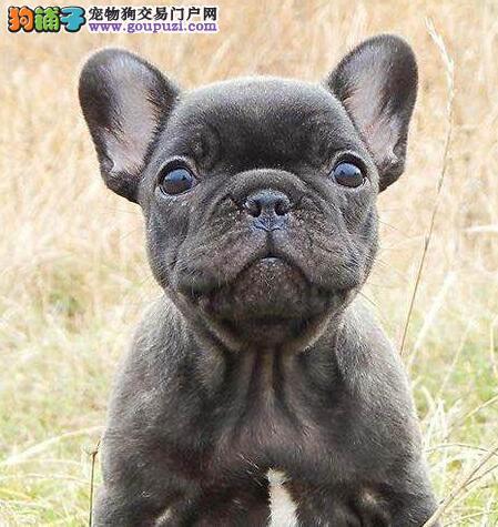今天付款包邮法斗幼犬纯白奶油色海盗眼黑白法斗幼犬