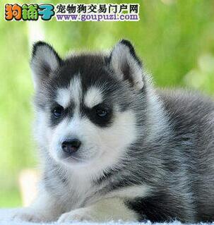 江门专业繁殖纯种哈士奇犬可送货上门签协议保健康