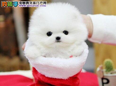 北京博美俊介幼犬是很可爱 只要带回家包你养活博美犬