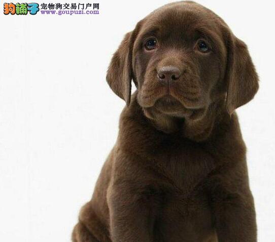 拉布拉多幼犬三包保证健康+纯种+售后 多只可选