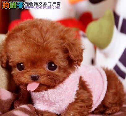 北京泰迪犬直销 茶杯泰迪迷你泰迪玩具泰迪泰迪犬舍2
