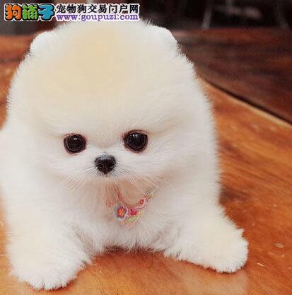 俊介血系的昆明博美犬特价优惠出售中 可视频看狗选购