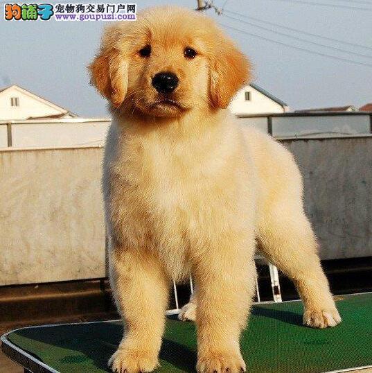 杭州实物拍摄金毛犬 包纯种健康只求善待美系金毛犬