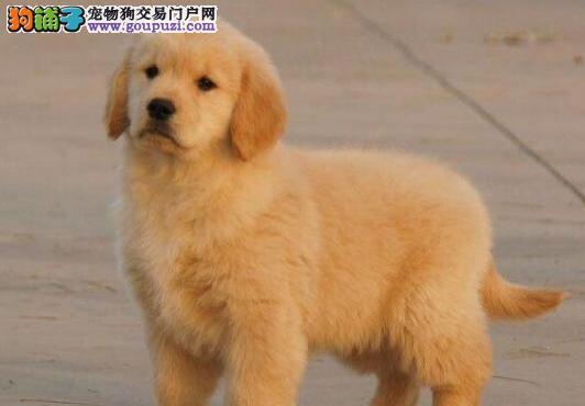 大头黄金猎犬品相的青岛金毛犬找新主人 多只幼犬供选