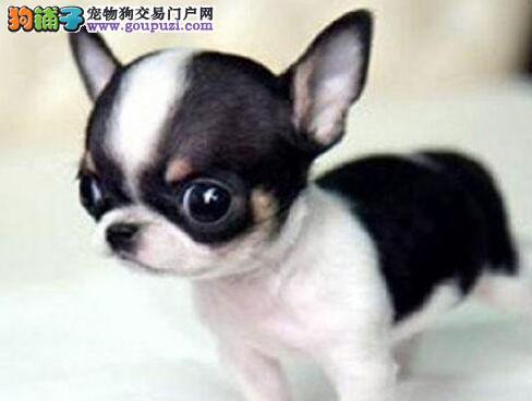 杭州大型犬舍低价热卖极品吉娃娃狗贩子请勿扰