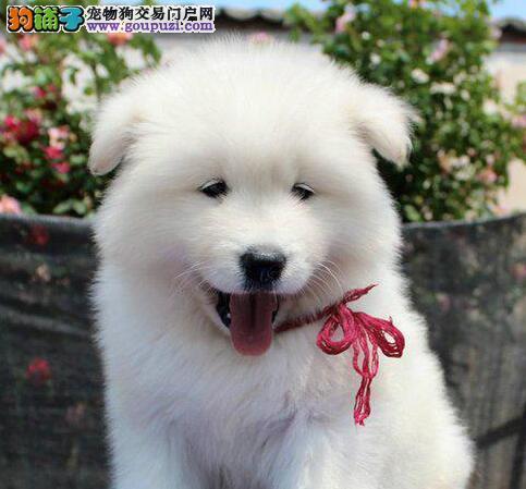 纯种微笑天使萨摩耶武汉狗场热销 绝对保证健康